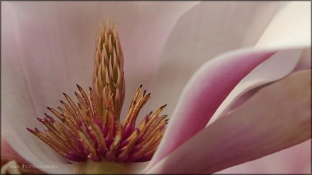 Blick in eine Magnolienblüte, April 2014