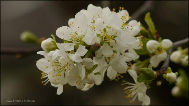Apfelblüte, schon Anfang April 2014