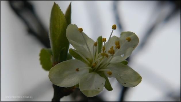 Erste Zwetschenblüten, Anfang April 2014, Bellenberg