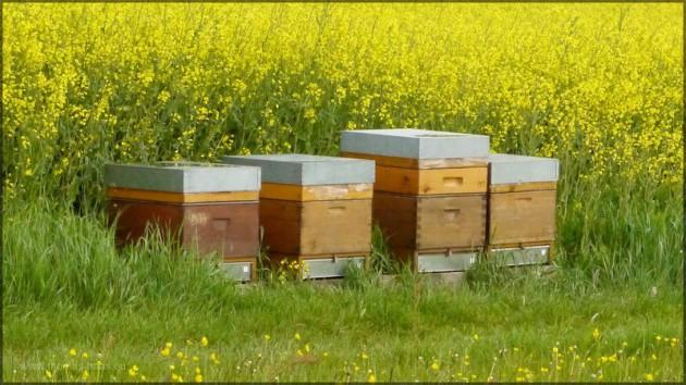 Bienenvölker am Rapsfeldrand im Mi 2014 bei Bartholomä, Ostalb
