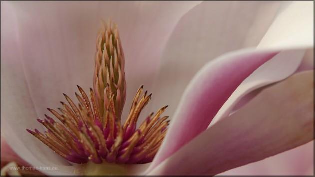 Nahlinse 4-fach, Magnolienblüe 2014