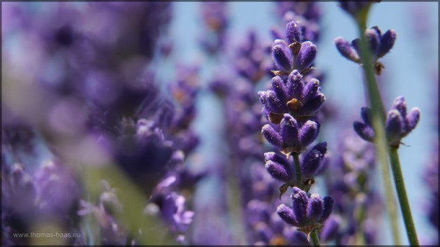 Lavendel, Juli 2014
