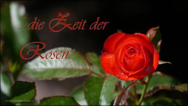 Rosenblüte mit Textzeile, Juni 2014