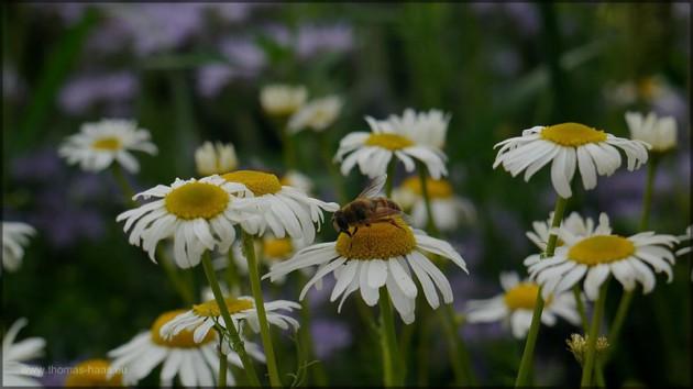 Hundskamille, Biene, Juli 2014