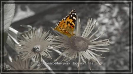 Color key Bearbeitung eines Schmetterlings