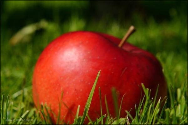 Fallobst, roter Apfel auf der Wiese - es ist Herbst, September 2014
