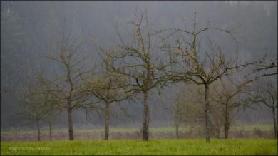 Obstbäume auf grüner Wiese, Ende November 2014
