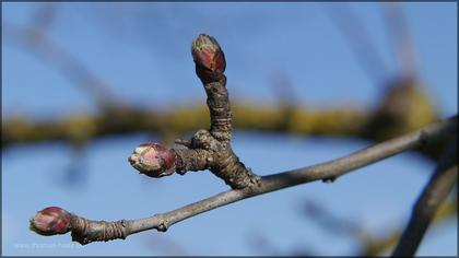 Knospe am Apfelbaum. 03.04.2015