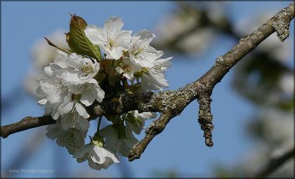 Blüten, Mitte April 2015