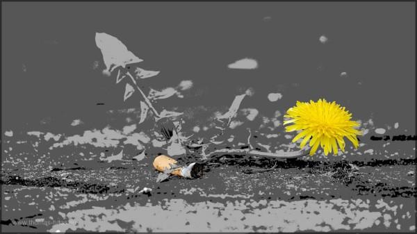 Plakative Darstellung: Löwenzahnblüte und Zigarettenkippe, April 2014