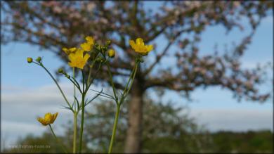 Hahnenfußgewächs und Baumblüte
