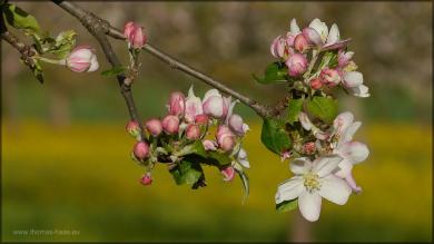 Apfelblüten, Mai 2015