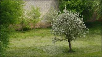 Blühender Baum im Stadtgraben, 2015