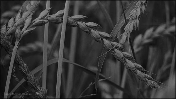Dinkel, schwarz/weiß, Bearbeitung in GIMP, Juli 2015
