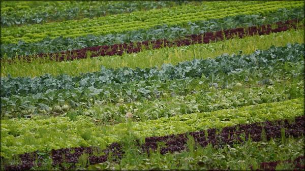 Das Feld eines Gartenbaubetriebes, Salate und Kohlrabi, Juli 2015
