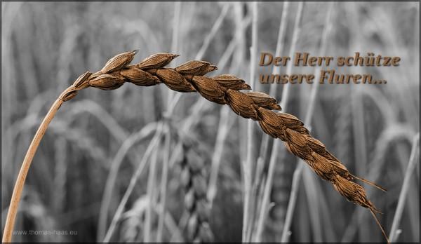 """Bildbearbeitung: Textebene im Dinkelfeld, """"Der Herr schütze unsere Fluren..."""", Juli 2015"""