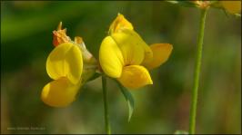 Hornklee, gelbe kleine Blüten. August 2015