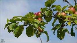 Äpfel am Baum, August 2015