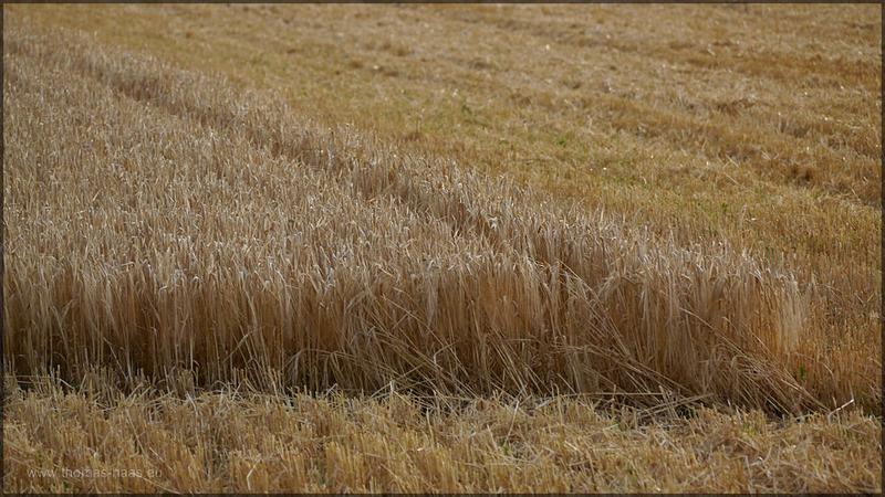 Getreidefeld und Stoppelacker, August 2015