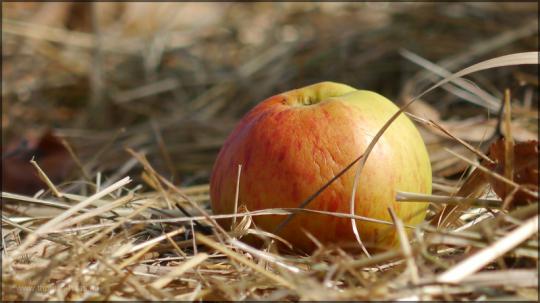 Apfel auf der trockenen Wiese, August 2015