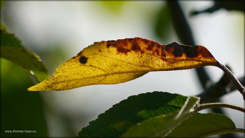Goldgelbes Blatt am Apfelbaum, September 2015