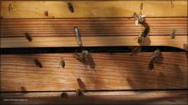 Bienenvolk auf der Wiese, September 2015