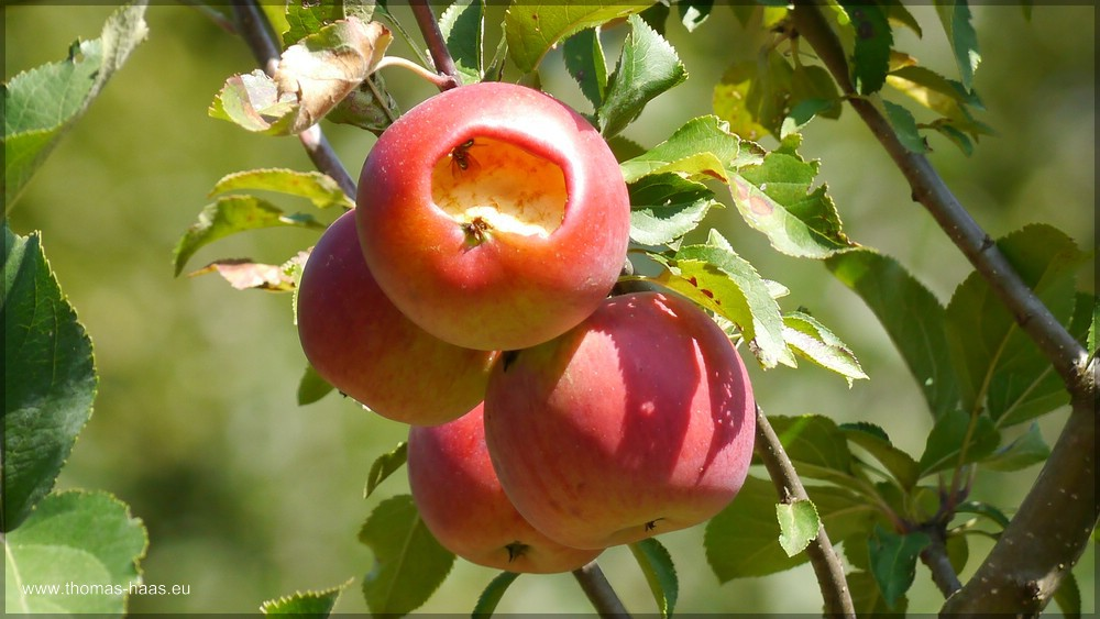 Angefressener Apfel auf dem Baum - Mundraub!