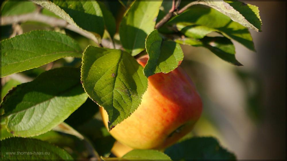 Apfel im Abendlicht, Oktober 2015
