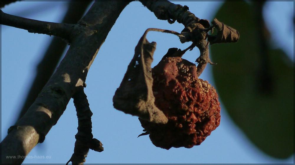Vertrockneter, verdorbener Apel., Oktober 2015