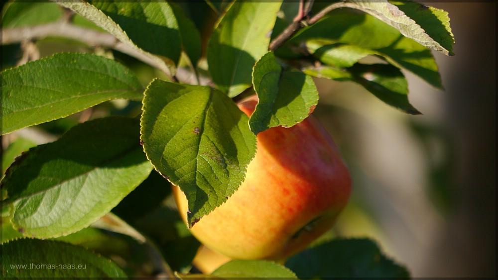 Apfel am Baum, Oktober 2015