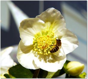 Christrose und Biene, 24.12.2015
