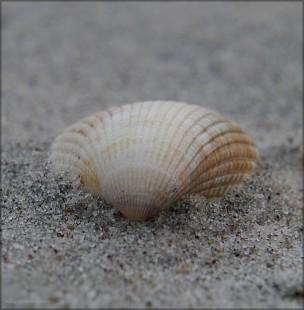 Muschel im Ostsee-Sand, Februar 2016
