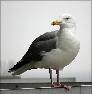 Besucher auf dem Hotelbalkon: Ostsee-Möwe, Februar 2016
