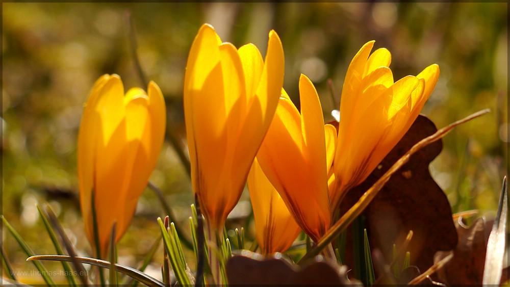 Gelbe Krokusse auf der Wiese, der Frühling kommt! Ende März 2016