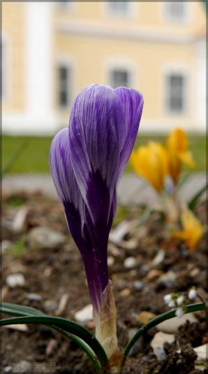 Im Klostergarten blühen die Krokusse..., 2016