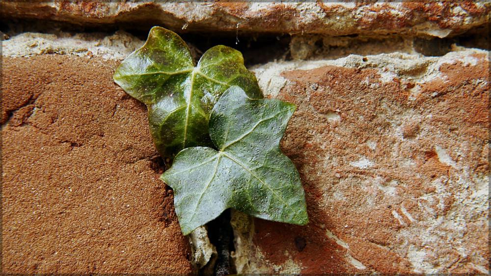 Efeu an Ziegelmauer, 2016