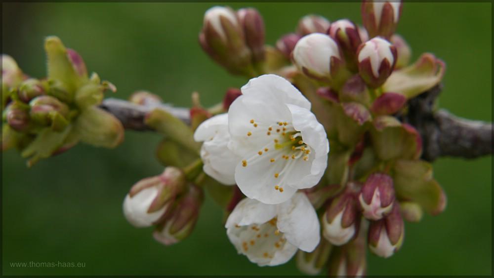Vollfrühling, 10.04.2016 - die Apfelblüte setzt ein.