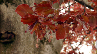 Junge Blätter der Blutbuche, April 2016