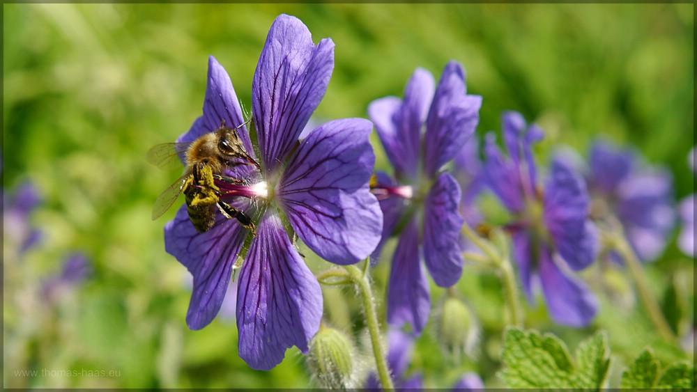 Wildbiene voller Pollen auf blauem Storchenschnabel, Mai 2016