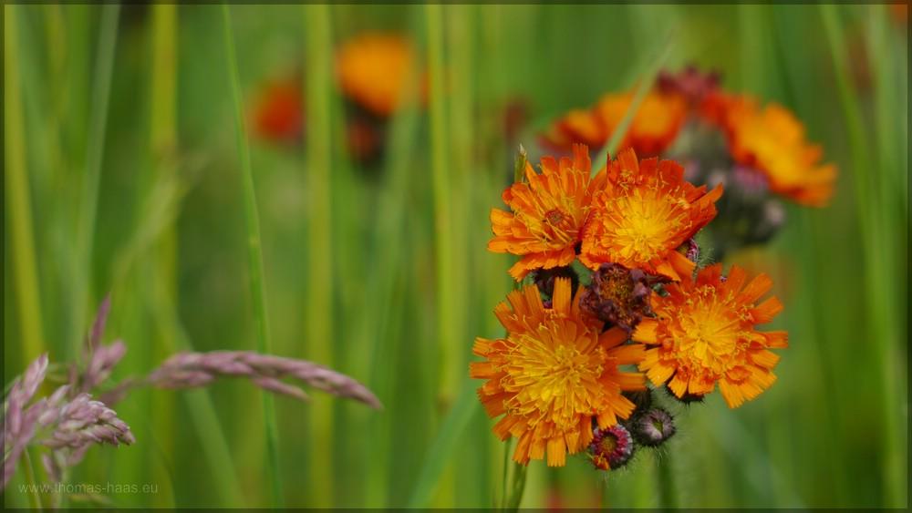 ... seltene Farbe: Orangerot in der Natur, Habichtskraut, Juni 2016