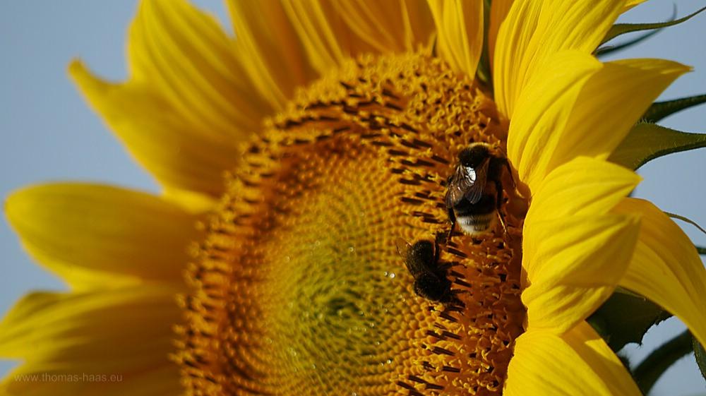 Die letzten unbeschädigten Sonnenblumenauf dem Feld