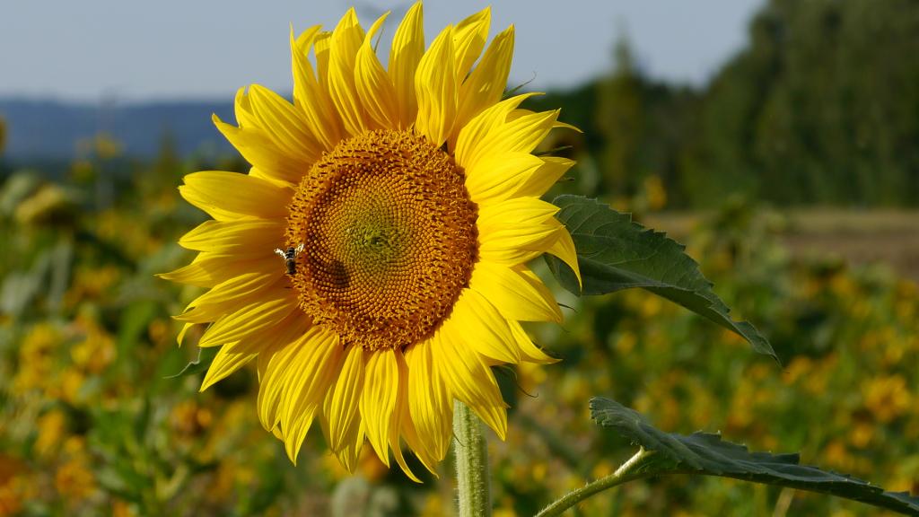 Sonnenblumenfeld, Oberkirchberg
