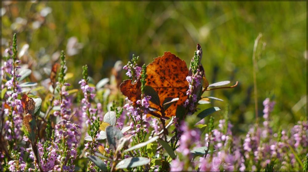 Herbst im Ried, ein Blatt im Gegenlicht und blühende Heide