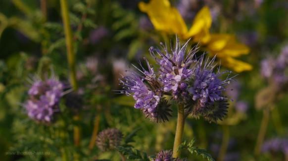 Gründüngung, Phacelia - eine von 200 Arten...