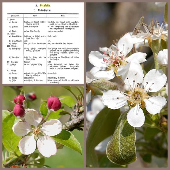 Blütencollage: Apfel und Birne