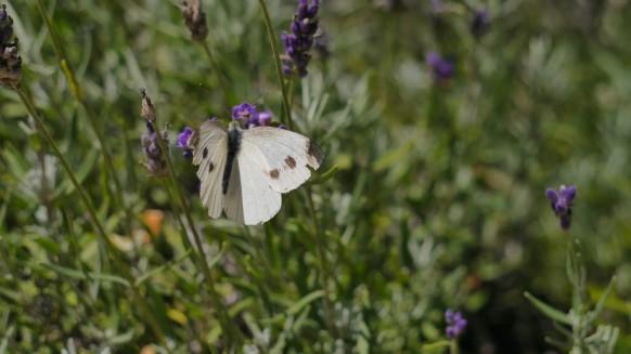 Lavendel und Kohlweißling