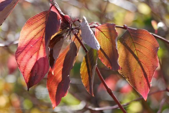 Durchleuchtete Herbstblätter, Bodensee, Oktober 2017