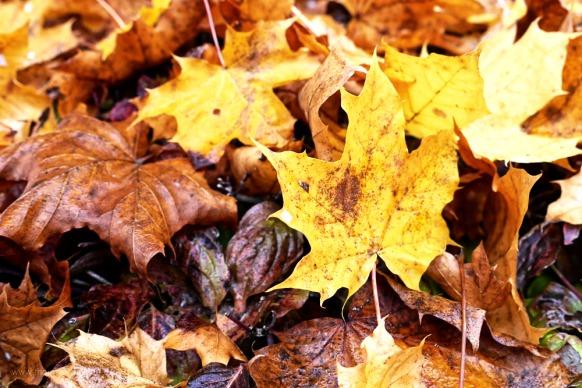 Ahornlaub in Herbstfarben, Oktober 2017