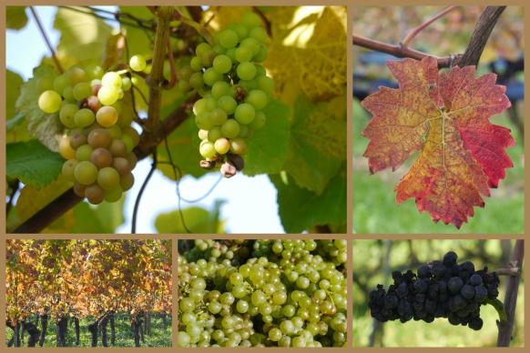 Weintrauben, Flach- und Hanglagen, Bodensee, 2017