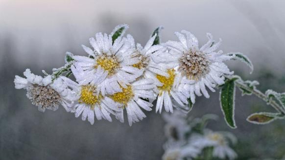 Blumen, vom Frost überzogen...